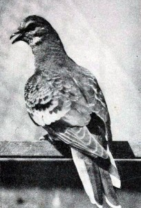 1914-passenger-pigeon-driven-to-extinction.jpg